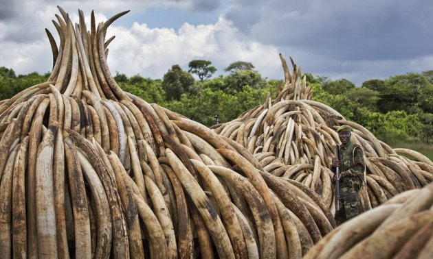 Kenya will burn about 105 tonnes of elephant ivory and 1.5 tonnes of rhino horn in 11 large pyres, about seven times the amount previously burned in a single event.