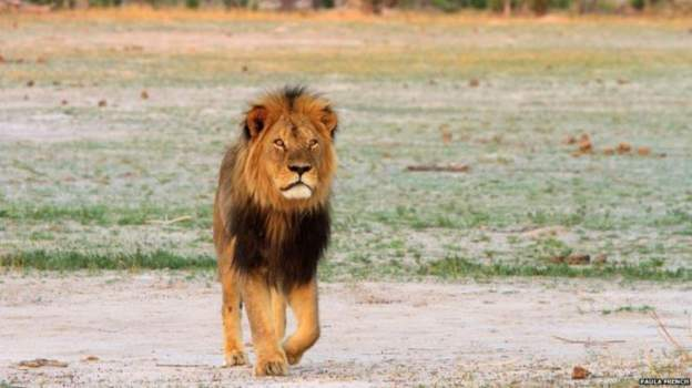 Seeing Cecil was a must for those on photographic safaris