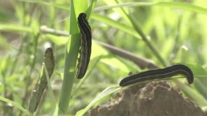 Army worms can destroy entire fields