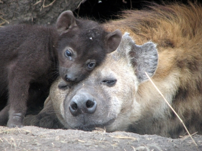 Research: why spotted hyenas rarely die from disease