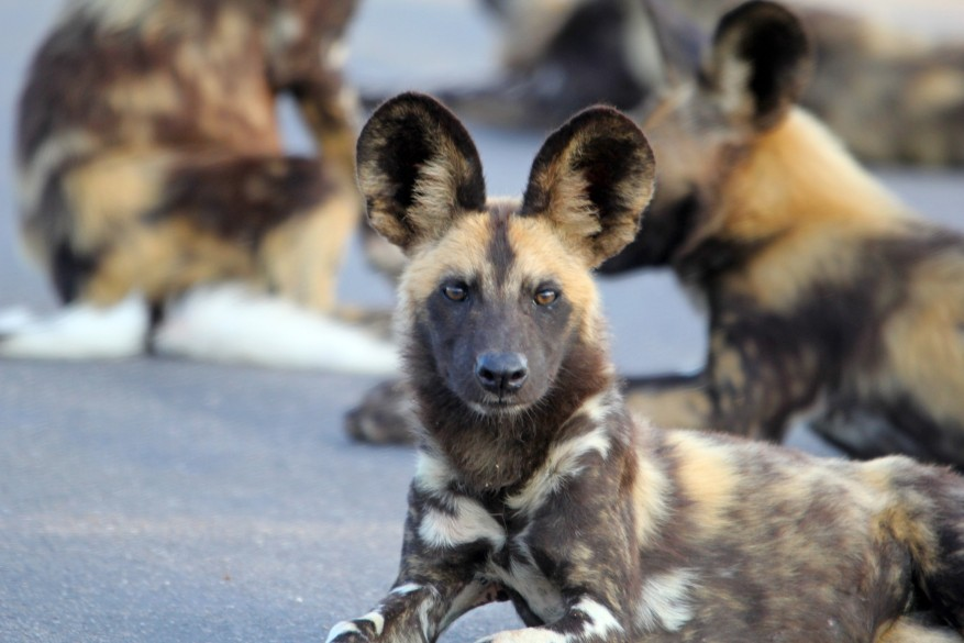 African wild dogs vote over pack decisions by sneezing, a new study has found