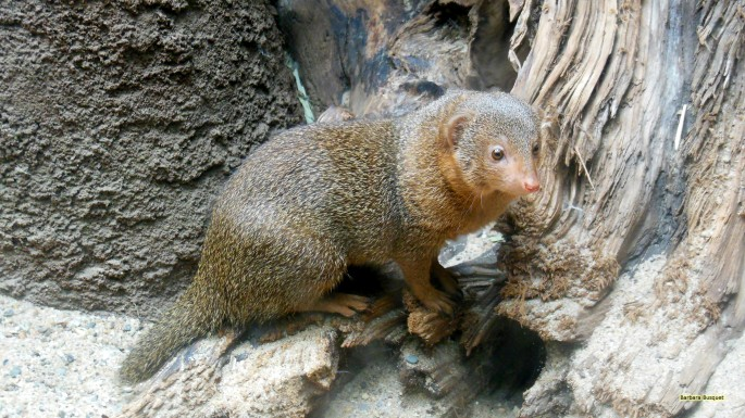How dwarf African Mongooses respond to new immigrants
