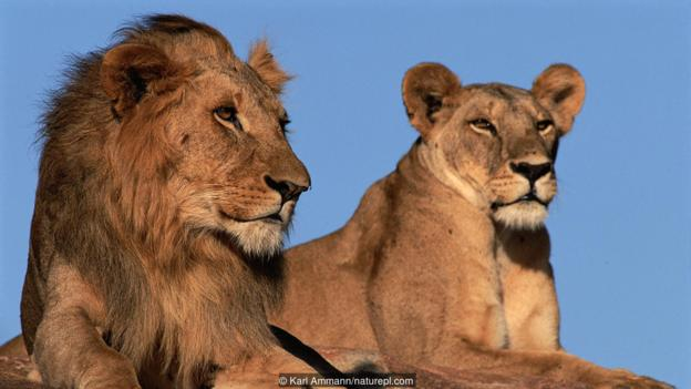 These women has learnt how to live with lions