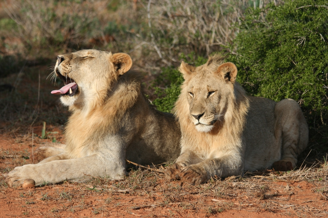 two-lions-spotted-on-safari