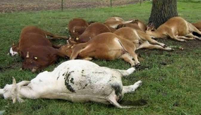 dead_cattle