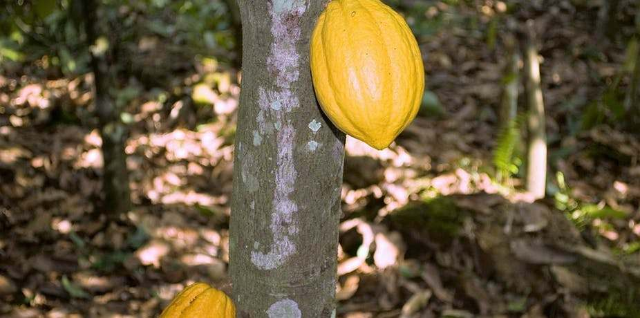 Cocoa production is an important cog in Ghana's economy. Wikimedia Commons